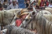 les chevaux de l'abrivado